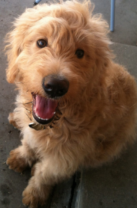Photo of Martin, our new GoldenDoodle